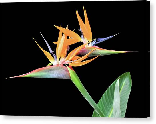 Canvas Print featuring the photograph 3 Heads Are Better Than One by Denise Bird