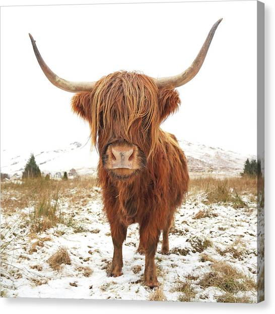Farmhouse Canvas Print - Highland Cow by Grant Glendinning