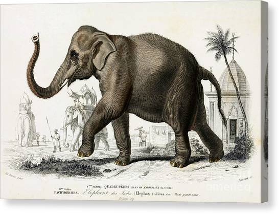 Elephants Canvas Print - Indian Elephant, Endangered Species by Biodiversity Heritage Library