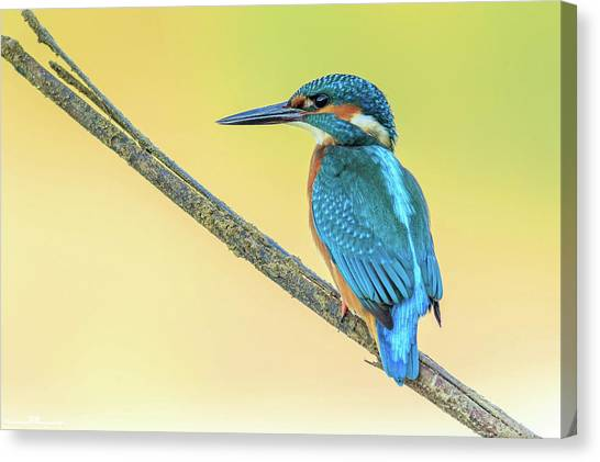 Kingfisher Canvas Print - Kingfisher by Maye Loeser