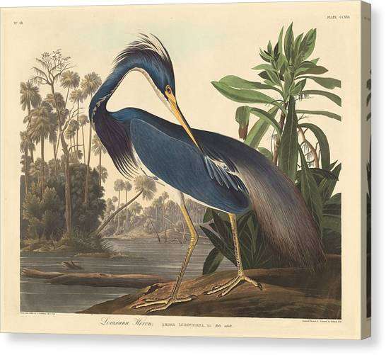 Ibis Canvas Print - Louisiana Heron by Dreyer Wildlife Print Collections