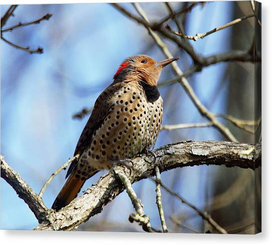 Canvas Print featuring the photograph Northern Flicker Woodpecker by Robert L Jackson