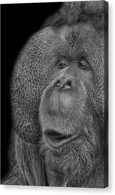 Orangutans Canvas Print - Orangutan by Martin Newman