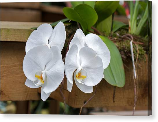Orchid Canvas Print by Theo Tan