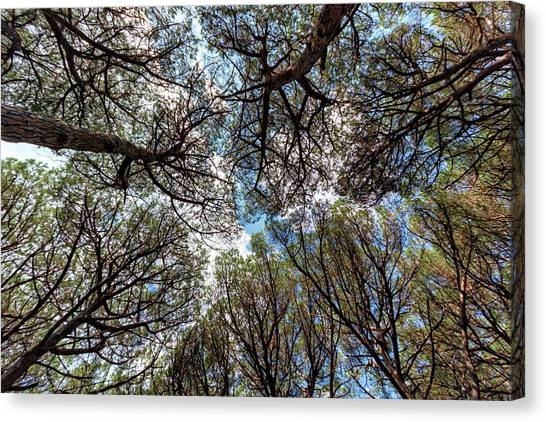 Pinewood Forest, Cecina, Tuscany, Italy Canvas Print