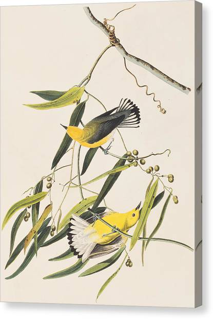 Warblers Canvas Print - Prothonotary Warbler by John James Audubon