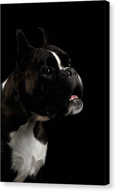 Dog Canvas Print - Purebred Boxer Dog Isolated On Black Background by Sergey Taran