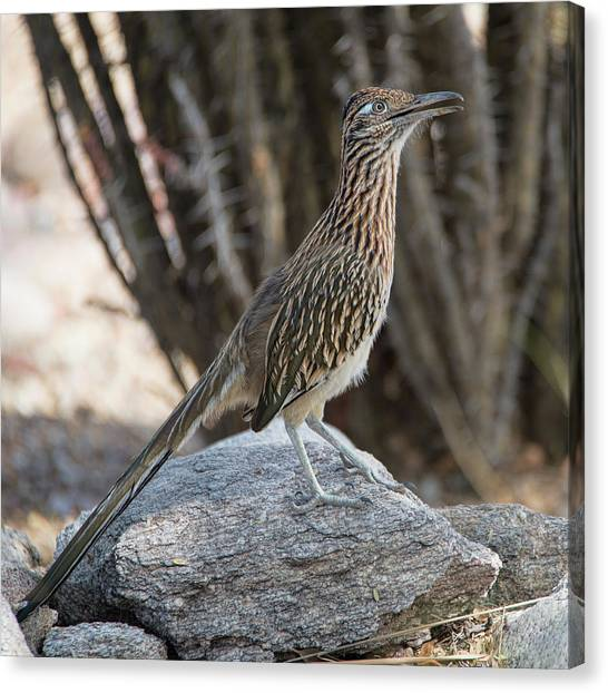 Canvas Print featuring the photograph Roadrunner by Dan McManus