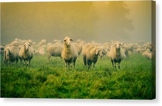 Sheep Canvas Print - Sheep by Alice Kent