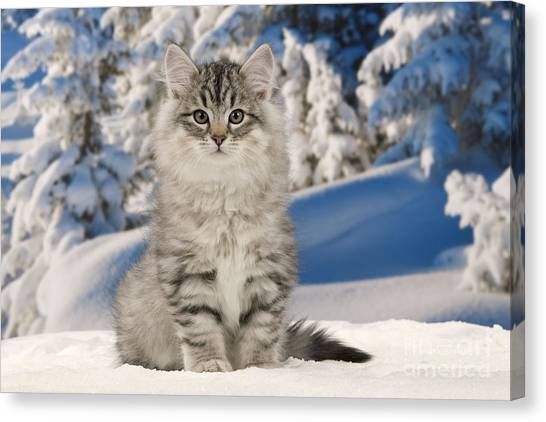 Siberian Cats Canvas Print - Siberian Cat by Jean-Michel Labat