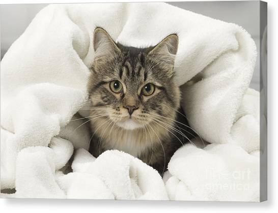 Siberian Cats Canvas Print - Siberian Kitten by Jean-Michel Labat