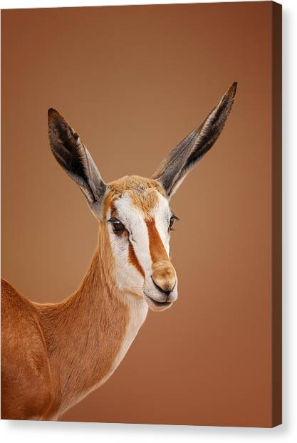 Ears Canvas Print - Springbok Portrait by Johan Swanepoel