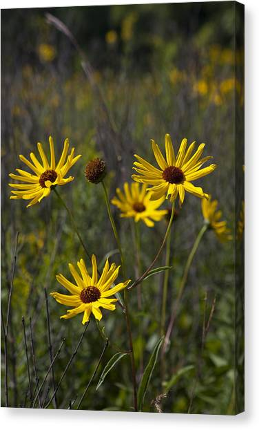 3 Sunflowers 8152 Canvas Print