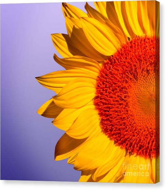 Sunflowers Canvas Print - Sunflowers by Mark Ashkenazi