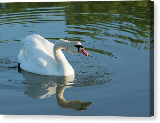 Swan Reflection Canvas Print