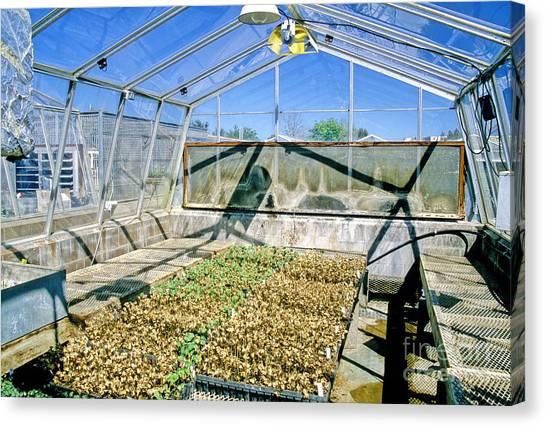 Uc Davis Canvas Print - Transgenic Cotton Plants by Inga Spence