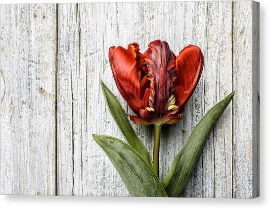 Tulip Canvas Print - Tulip by Nailia Schwarz