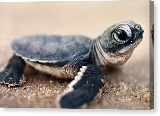 Tortoises Canvas Print - Turtle by Maye Loeser