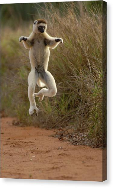 Ring-tailed Lemurs Canvas Print - Verreauxs Sifaka Propithecus Verreauxi by Pete Oxford