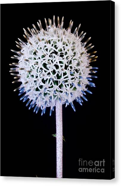 White Alium Onion Flower Canvas Print
