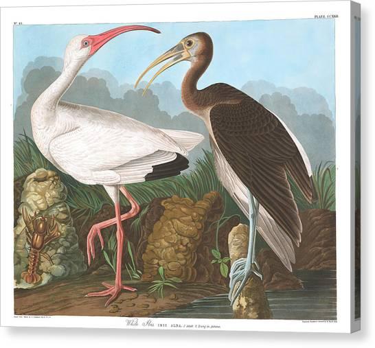 Ibis Canvas Print - White Ibis by John James Audubon