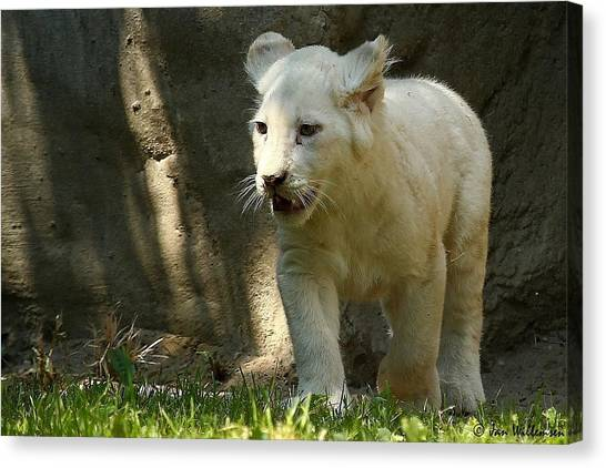 Hogs Canvas Print - White Lion by Jackie Russo