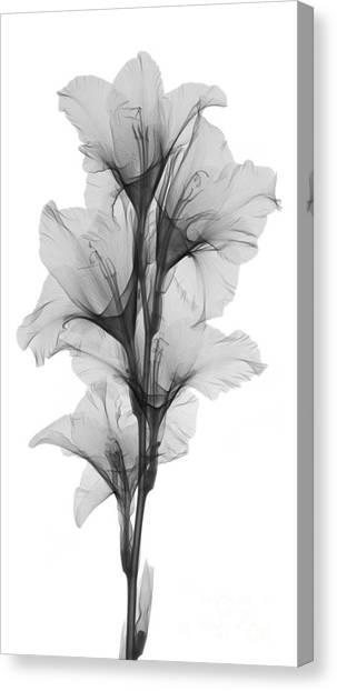 Gladiolas Canvas Print - X-ray Of A Gladiola Flower by Ted Kinsman