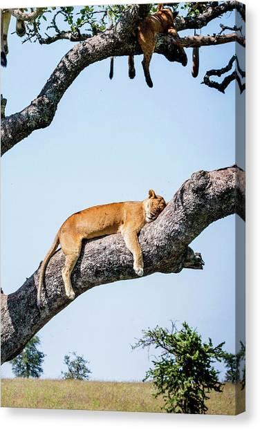 Primates Canvas Print - Lion by Jackie Russo