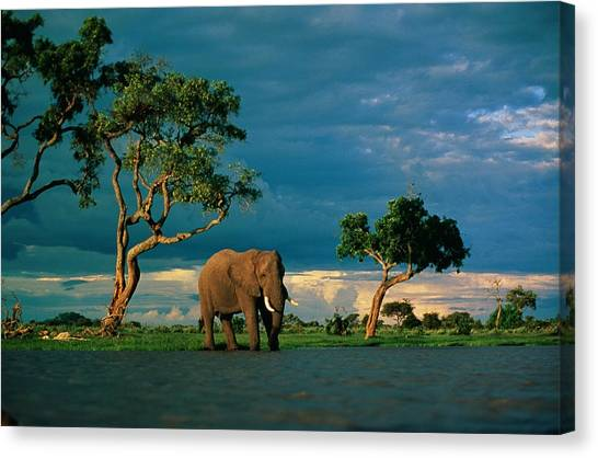 And Threatened Animals Canvas Print - African Elephant Loxodonta Africana by Beverly Joubert