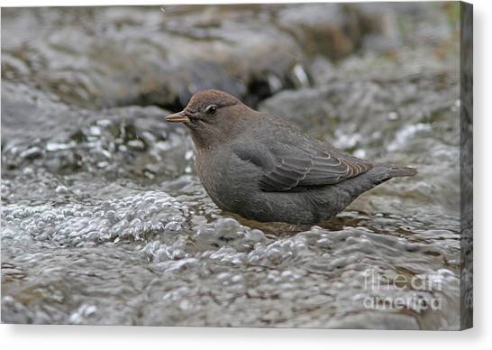 Canvas Print - American Dipper by Gary Wing