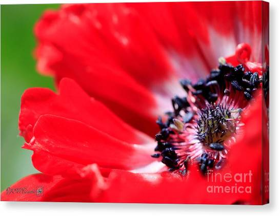 His Excellency Canvas Print - Anemone De Caen Named His Excellency by J McCombie