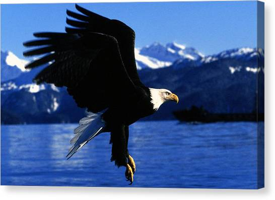 Vultures Canvas Print - Bald Eagle by Maye Loeser