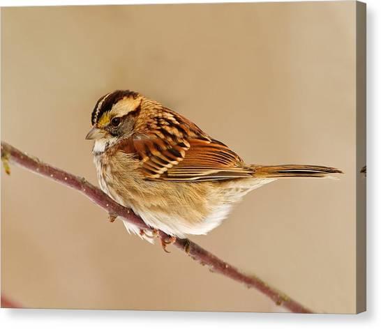 Wrens Canvas Print - Bird by Maye Loeser
