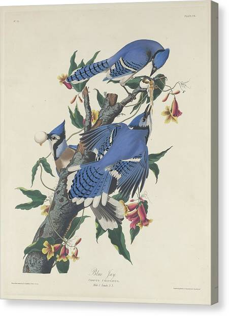 Bluejays Canvas Print - Blue Jay by Dreyer Wildlife Print Collections