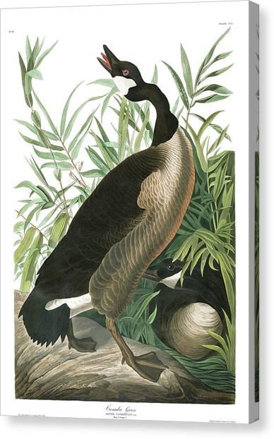 Canada Goose Canvas Print - Canada Goose by John James Audubon
