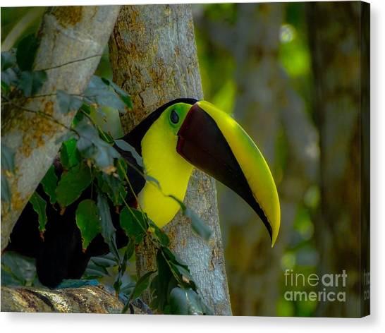 Chestnut-mandibled Toucan Canvas Print