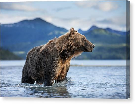 Scenic Canvas Print - Coastal Brown Bear  Ursus Arctos by Paul Souders