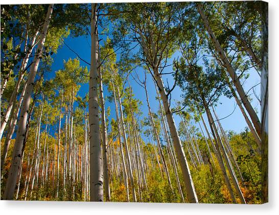 Colorado Aspens Canvas Print by Terry Runion