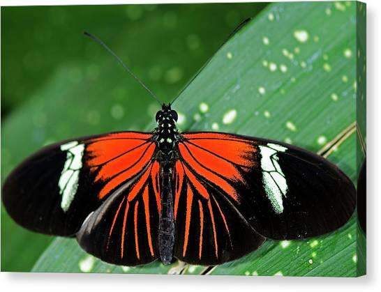 Doris Longwing Butterfly Canvas Print