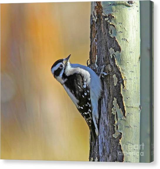 Canvas Print - Downy Woodpecker by Gary Wing