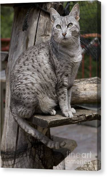 Egyptian Maus Canvas Print - Egyptian Mau Cat by Jean-Michel Labat