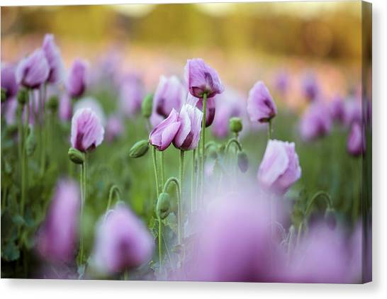 Bloom Canvas Print - Lilac Poppy Flowers by Nailia Schwarz