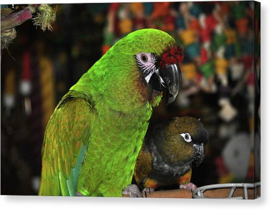 Macaws Canvas Print - Parrot by Super Lovely