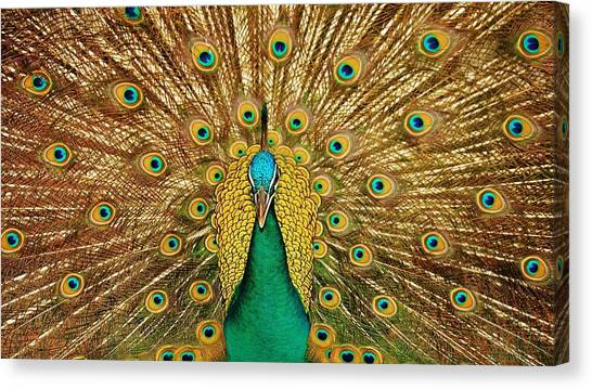 Pheasants Canvas Print - Peacock by Jackie Russo