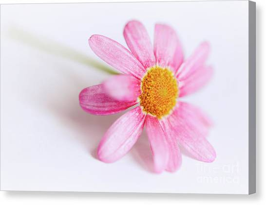 Canvas Print featuring the photograph Pink Aster Flower by Nick Biemans