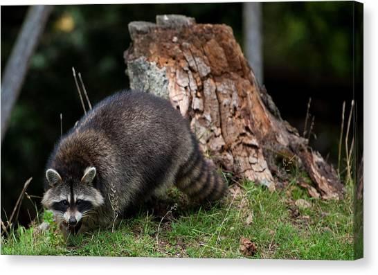 Otters Canvas Print - Raccoon by Mariel Mcmeeking