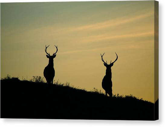 Glen Affric Canvas Print - Red Deer Stags  by Gavin Macrae
