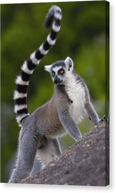 Ring-tailed Lemur Canvas Print - Ring-tailed Lemur Lemur Catta Portrait by Pete Oxford