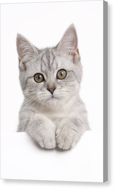 Scottish Folds Canvas Print - Scottish Fold Cat by Jean-Michel Labat