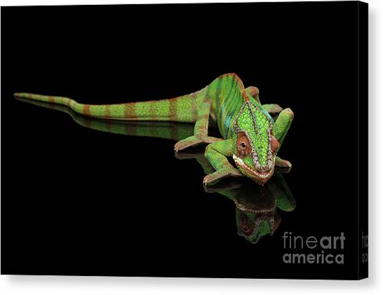 Reptiles Canvas Print - Sneaking Panther Chameleon, Reptile With Colorful Body On Black Mirror, Isolated Background by Sergey Taran